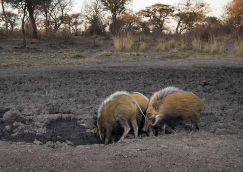 Pig, Bush