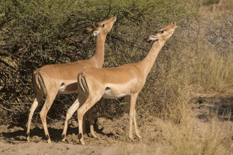 Common impala