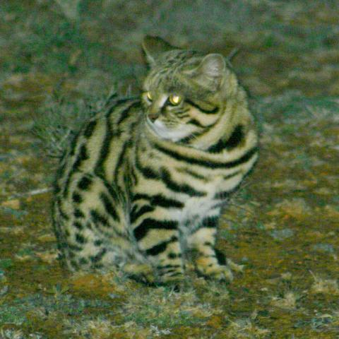 A black-footed cat listening for prey