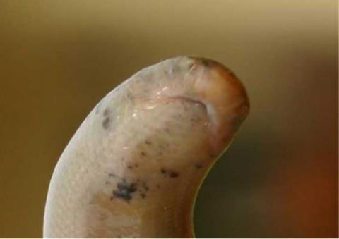 Schlegel's Beaked Blind Snake