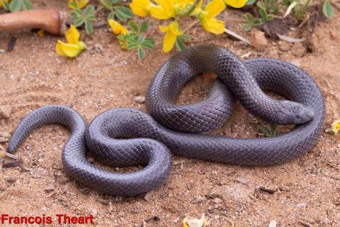 Common Purple-glossed Snake
