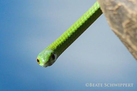 Angola Green Snake