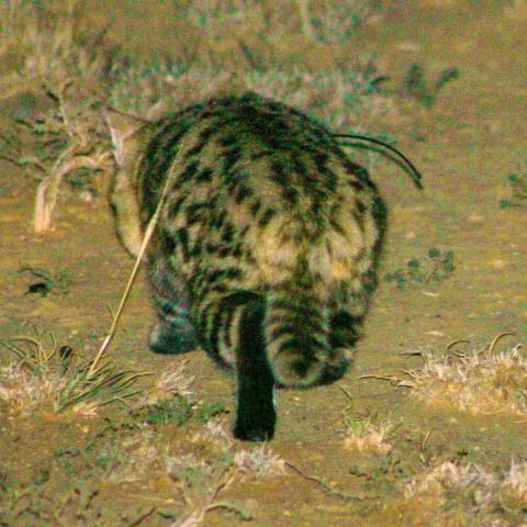 A black-footed cat showing the black soles of feet