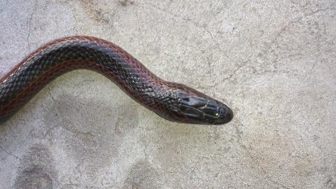 Bangweulu Swamp Snake