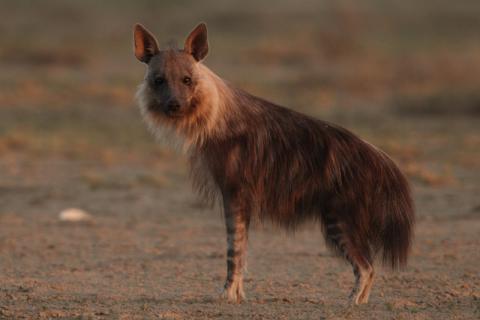 Brown hyaena