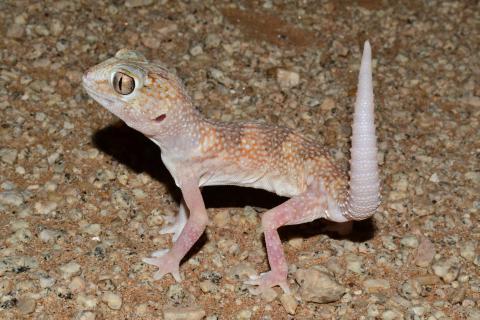 Namib Giant Ground Gecko