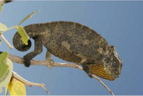 Chameleon, Common Flap-neck