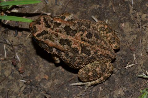 Toad, Guttural