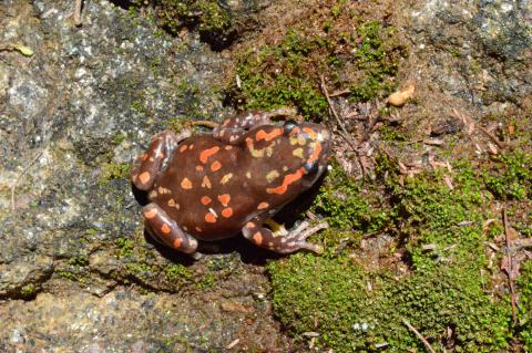 Rubber Frog, Marbled