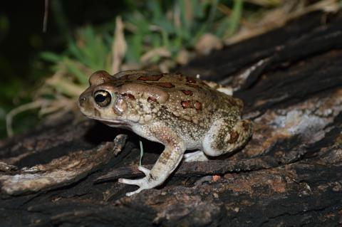 Toad, Eastern Olive