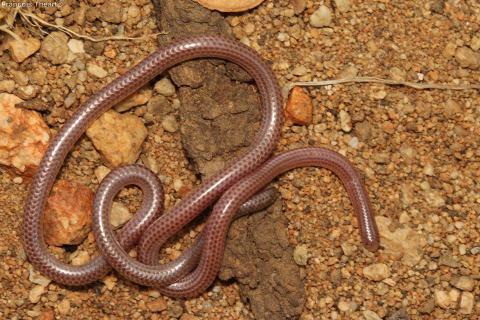 Damara Thread Snake