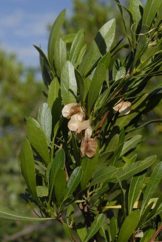 Dodonaea viscosa var. angustifolia
