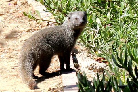 Small grey mongoose
