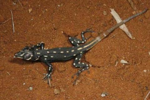 Lizard, Bushveld