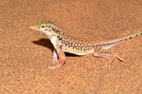 Lizard, Shovel-snouted