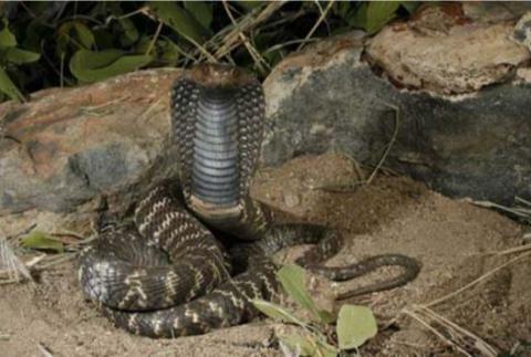Western Barred Spitting Cobra