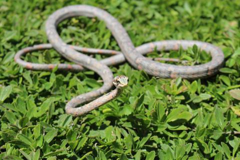 Oates' Twig or Vine Snake