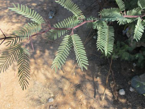 Prosopis glandulosa