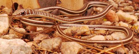 Western Yellow-bellied Sand Snake