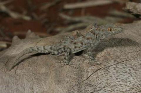 Gecko, Boulton's Namib Day