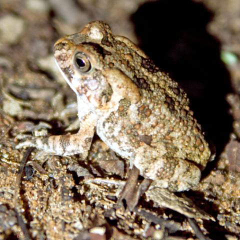 Toad, Western Olive