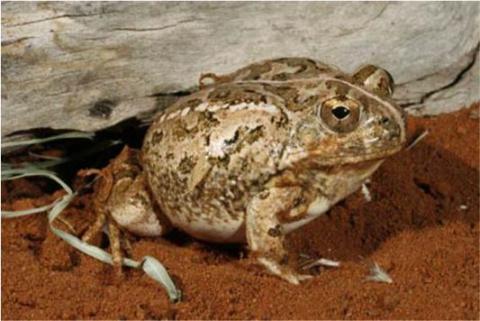Sand Frog, Tandy's