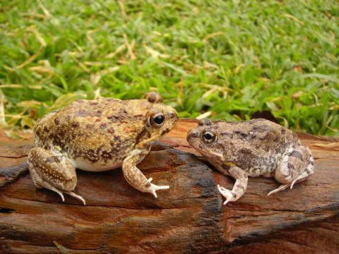 Tremelo Sand Frog