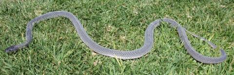 Angola File Snake