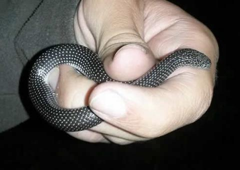 Cape Wolf Snake