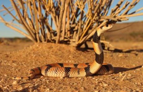 Cape Coral Shield Cobra