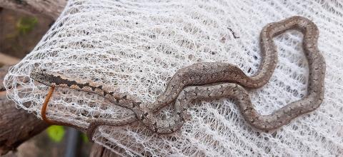 Eastern Bark Snake