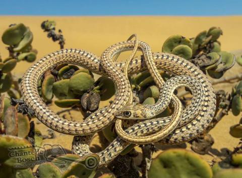 Namib Sand Snake