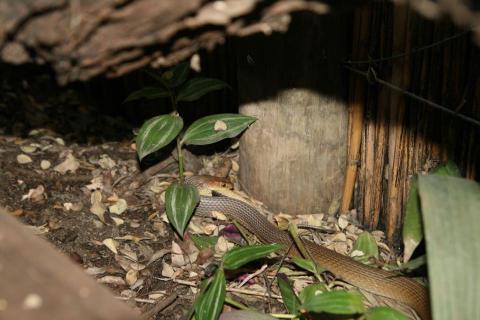 Olive Grass Snake