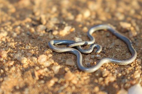 Western Thread Snake