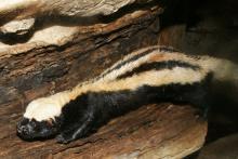Striped weasel