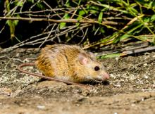 Namaqua rock rat