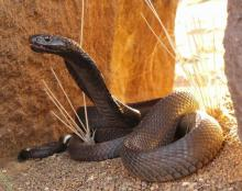 Black Spitting Cobra