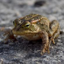 Lemaire's Toad