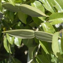 Cryptostegia grandiflora - Rubber vine