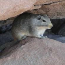 Dassie rat
