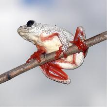 Angolan Reed Frog