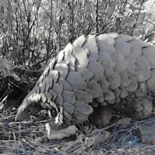 Savanna Pangolin