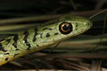 Spotted or Variegated Bush Snake