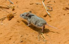 Woosnam's desert rat