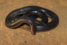 Bibron's Stiletto Snake