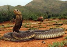 Anchieta's Cobra