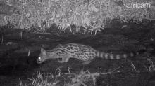 Common large-spotted genet