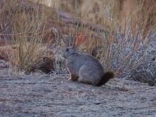 Smith's red rock rabbit