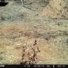 Galerella sanguinea | Mongoose, Slender