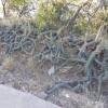 Harrisia martinii | Moon cactus